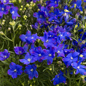 0459-blue-mirror-delphinium-full-shot_300