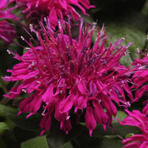 Balmy Purple™ Bee Balm