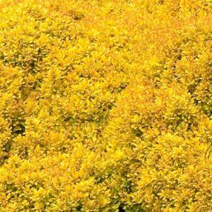 1203-golden-nugget-dwarf-japanese-barberry-landscape_441-300x300