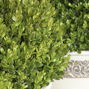 1370-faulkner-boxwood-close-up_300
