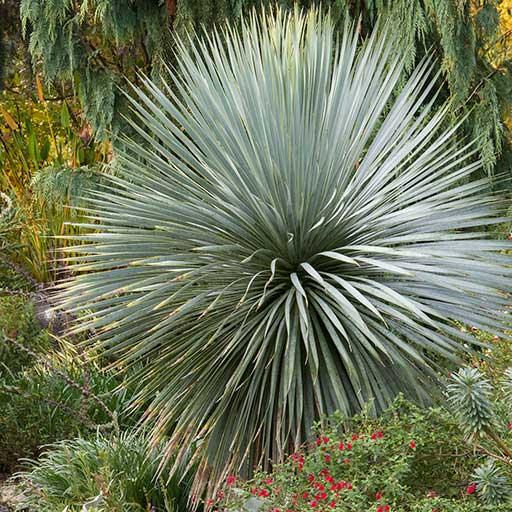 Sapphire Skies Beaked Blue Yucca