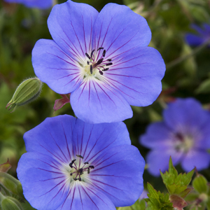 2308-rozanne-cranesbill-close-up_300