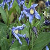 2725-bushy-blue-bell-clematis-close-up-200x200