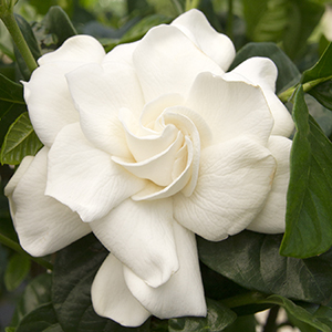 3767-first-love-gardenia-close-up-300x300