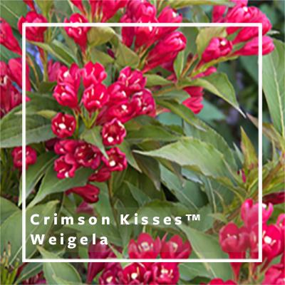 400x400_Crimson-Kisses