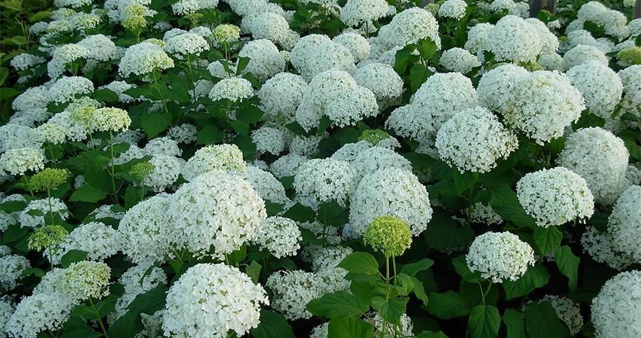 Beautiful white Hydrangeas
