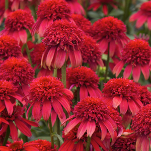 41261-double-scoop-cranberry-coneflower-close-up_300