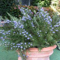 4136-roman-beauty-rosemary-full-shot-200x200