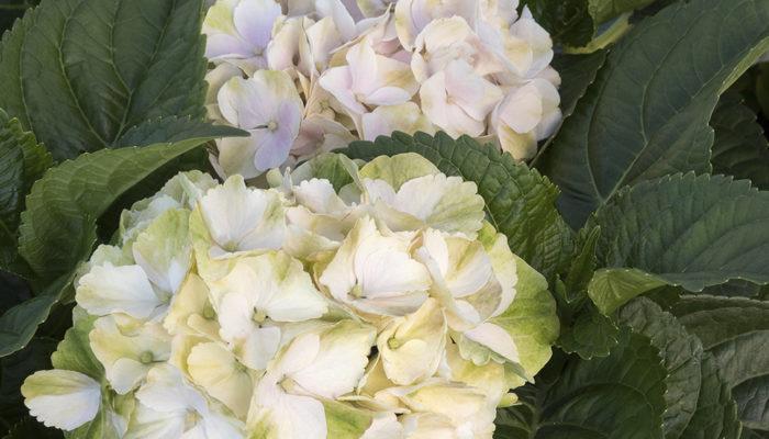 41528-Hydrangea-macrophylla-Cape-Lookout-Seaside-Serenade_3547-resize-700x400