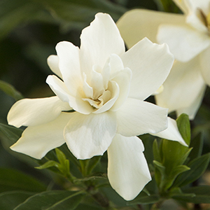 4409-frostproof-gardenia-close-up-300x300