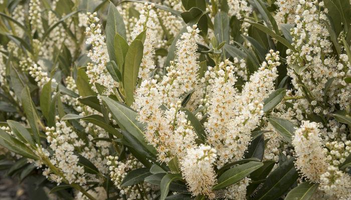 4824-jade-enchantress-cherry-laurel-close-up-bloom-resize-700x400