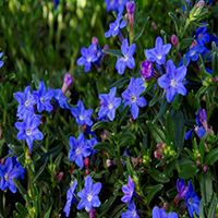5894-grace-ward-lithodora-close-up