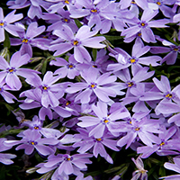 6445-emerald-blue-creeping-phlox-close-up