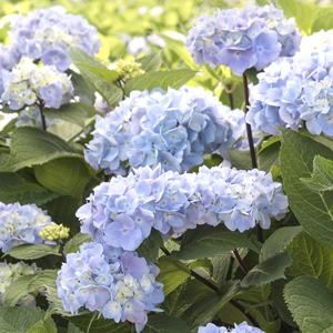 9275-blue-enchantress-hydrangea-full-shot_300