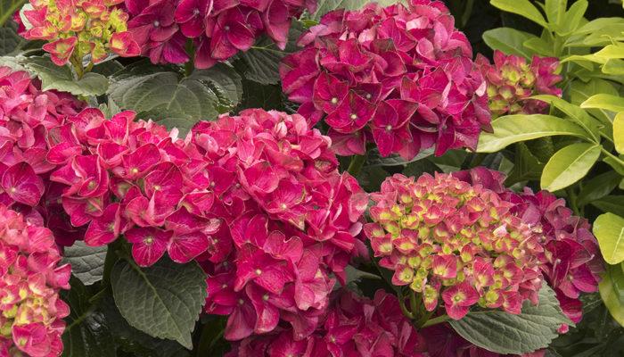 9665-Hydrangea-macrophylla-HORTHAT-10-56-51-SS-Cape-Hatteras_3978-resize-700x400