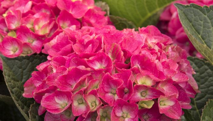 9668-Hydrangea-macrophylla-HORTMAVI-7-42-03-SS-Marthas-Vinyard_4013-resize-700x400