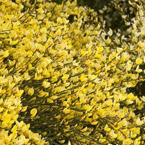 Allgold-Broom-300x300-150x150@2x