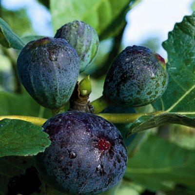 Black Jack Fig