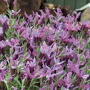 Blueberry-Ruffles-French-Lavender-300-150x150@2x