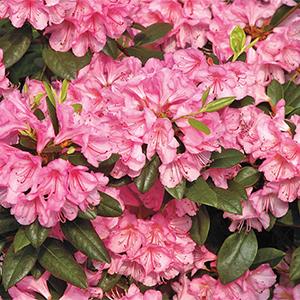 Bubblegum-Rhododendron-300x300