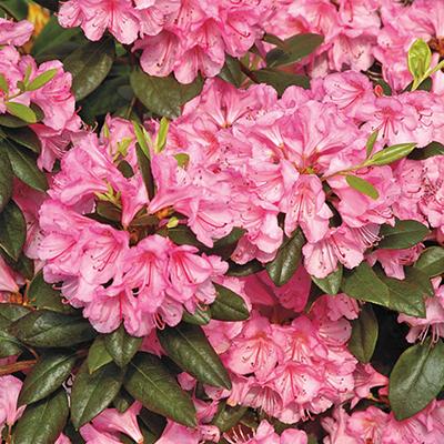 Bubblegum-Rhododendron-400x400