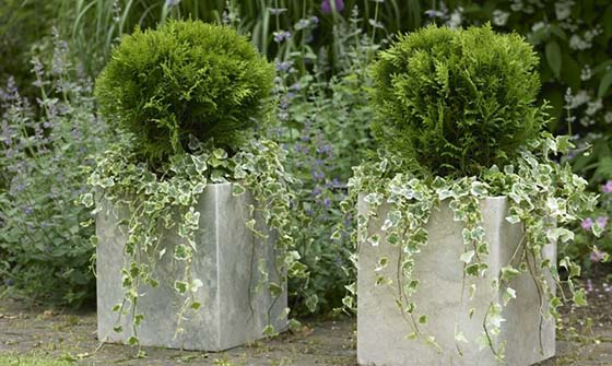 CONIFERS_DANICA_BOX-HEDGE-560x335v2