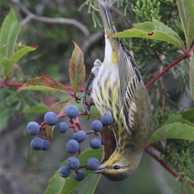 Cape-may-Warbler-eating-Virginia-Creeper-berries.400