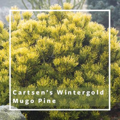 Carstens-wintergold-mugo-pine