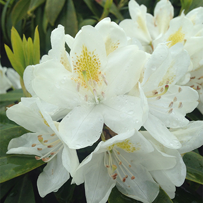 Chionoides-Rhododendron-400x400