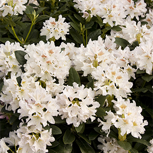 Cunninghams-White-Rhododendron-300x300