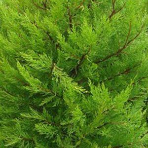 Donard-Gold-Monterey-Cypress-300x300