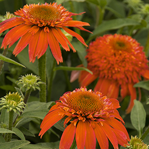 Double-Scoop%E2%84%A2-Mandarin-Coneflower-300