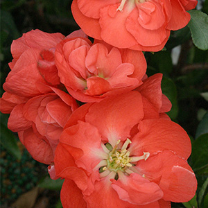 Double-Take-Orange%E2%84%A2-Flowering-Quince-300x300