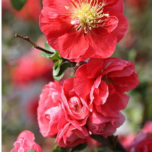 Double-Take-Pink%E2%84%A2-Flowering-Quince-300x300