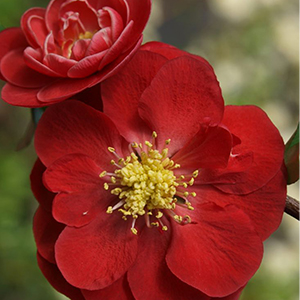 Double-Take-Scarlet%E2%84%A2-Flowering-Quince-300x300