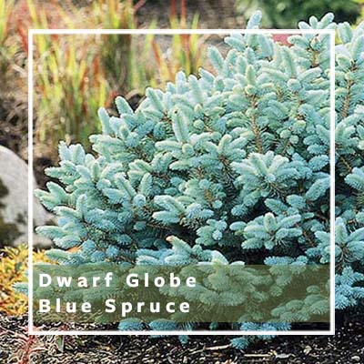 Dwarf Shrubs For Small Spaces Be Inspired