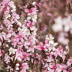 Dwarf-Flowering-Peach-300x300-150x150@2x