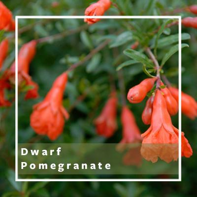 Dwarf-Pomegrante_400x400