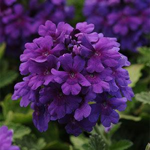 Endurascape-Purple-300x300-150x150@2x