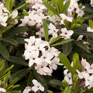 Eternal-Fragrance-Daphne-300x300-150x150@2x