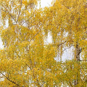 European-White-Birch-2