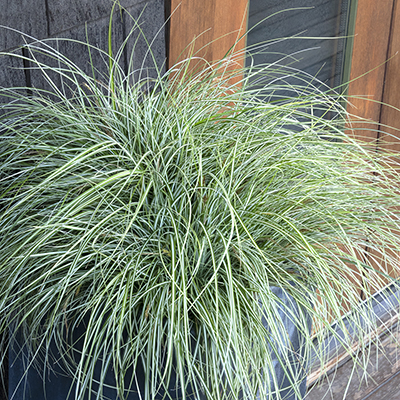 EverColor%C2%AE-Everlite-Variegated-Sedge-400x400