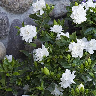 Everblooming-Gardenia-400x400