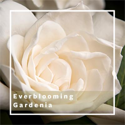 Everblooming-Gardenia