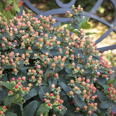 FloralBerry%E2%84%A2-Pinot-St.-Johns-Wort-400x400
