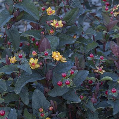 FloralBerry%E2%84%A2-Sangria-St.-Johns-Wort-400x400