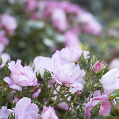 Flower-Carpet%C2%AE-Appleblossom-Groundcover-Rose-400x400