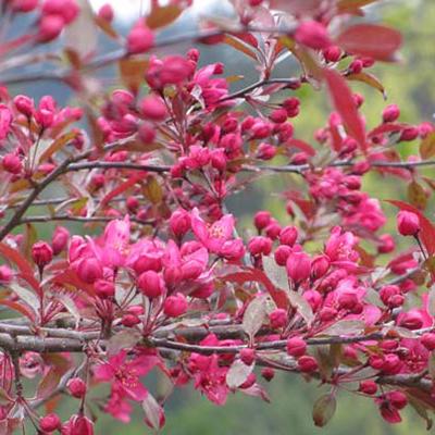 Flowering-Crabapple-Royal-Raindrops-400x400