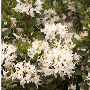Fragrant-Star-Azalea-300x300-150x150@2x