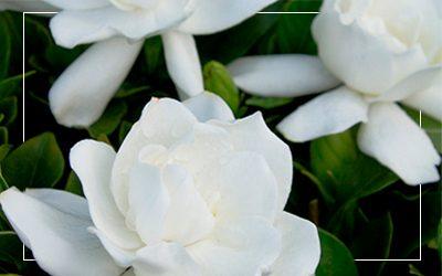 Gardenia_400x250@2x